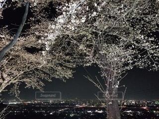 自然,桜,夜景,屋外,ピンク,丘,樹木