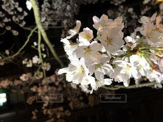 花,春,桜,屋内,白,ライトアップ,草木