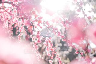 枝垂れ梅の写真・画像素材[4176897]