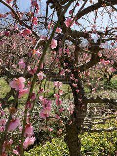 花,屋外,ピンク,梅,樹木,梅の木,梅の花,草木,ブロッサム,しだれ梅