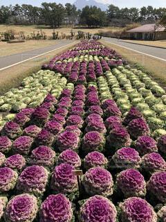 自然,公園,花,春,景色,デザイン,寄せ植え,列,カーペット,日中,ハボタン,葉ボタン,配置