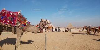 エジプトなラクダ2の写真・画像素材[4182272]