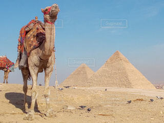 どや顔のラクダとピラミッドの写真・画像素材[4207661]