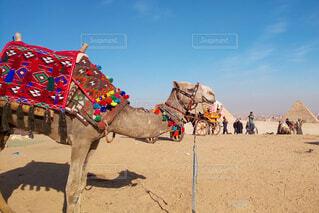 エジプトのラクダの写真・画像素材[4207662]