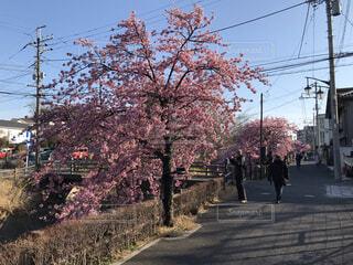 空,花,春,屋外,道路,景色,樹木,道,通り,桜の花,さくら,ブロッサム