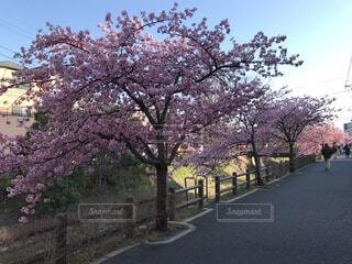 空,花,春,屋外,道路,景色,樹木,道,通り,草木,桜の花,さくら,ブロッサム