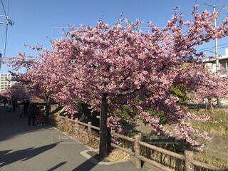 空,公園,花,春,屋外,景色,樹木,桜の花,さくら,ブロッサム