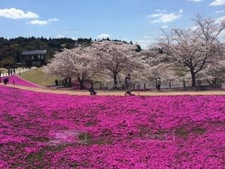 空,公園,花,春,屋外,景色,草,樹木,草木,桜の花,さくら,ガーデン,ブルーム,ブロッサム