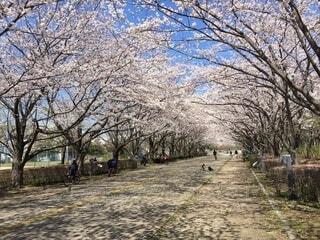 空,公園,花,春,森林,屋外,景色,樹木,地面,草木,桜の花,さくら,ブロッサム