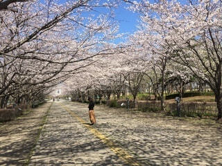 空,公園,花,春,屋外,樹木,地面,桜の花,さくら,ブロッサム