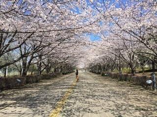 公園,花,春,屋外,樹木,地面,桜の花,さくら,ブロッサム