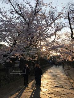 空,花,春,桜,屋外,樹木,人物,歩道,地面,草木
