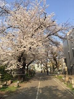 風景,空,春,桜,屋外,樹木,歩道