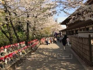 風景,空,花,春,桜,屋外,樹木,人物,草木