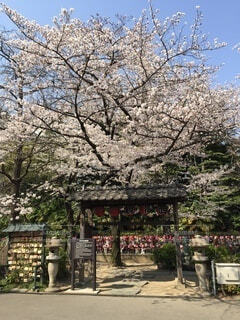 風景,花,春,桜,屋外,樹木,歩道,草木