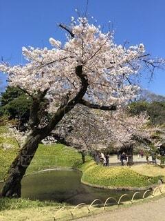 自然,風景,花,春,桜,屋外,池,樹木,草木