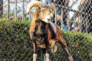 動物園のヤギの写真・画像素材[4183262]