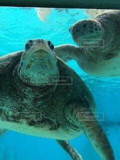 水の下で泳ぐカメの写真・画像素材[4186456]