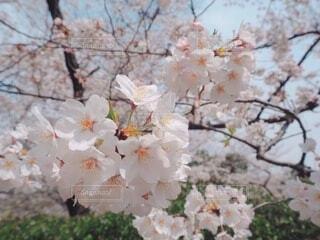 満開の桜のアップの写真・画像素材[4187829]