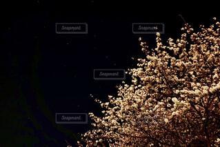 夜桜と北斗七星の写真・画像素材[4307099]