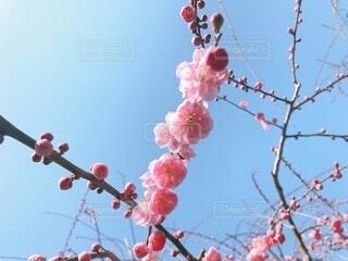 空,花,木,太陽,梅,枝,天気,梅の木,梅の花