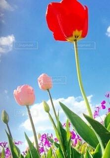 空,花,春,屋外,植物,雲,チューリップ,草木