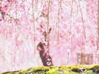 花,屋外,ピンク,梅,枝垂れ梅