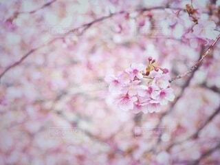 花,春,桜,屋外,河津桜,草木,桜の花,さくら