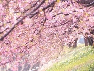花,春,桜,屋外,ピンク,草,樹木,河津桜,さくら