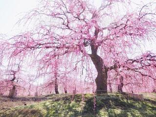 枝垂れ梅の写真・画像素材[4242658]