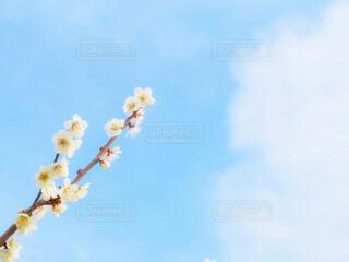 梅と青空の写真・画像素材[4293733]