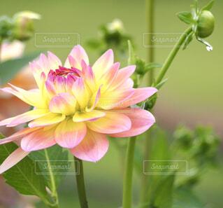 大きなお花の写真・画像素材[4315628]
