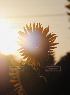 向日葵の写真・画像素材[4320601]