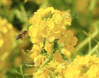 菜の花と蜂の写真・画像素材[4350769]