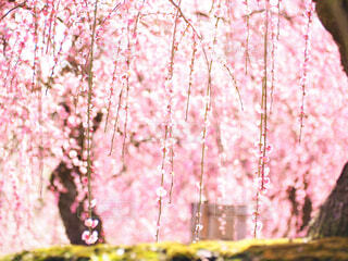 満開の梅の写真・画像素材[4406568]