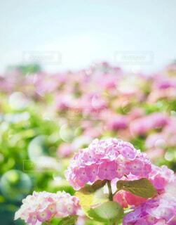 ピンクの紫陽花の写真・画像素材[4558434]