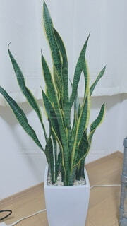 花,屋内,癒し,観葉植物,草木,リュウゼツラン,サンスベリア