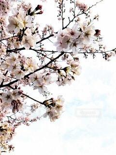花,桜,草木,ブロッサム