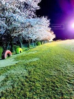 屋外,花見,夜桜,草,ガーデン