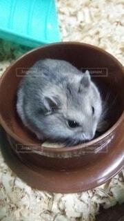 えさ皿にいるハムスターの写真・画像素材[4194440]