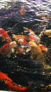 水の中を泳ぐ濃いの写真・画像素材[4201672]