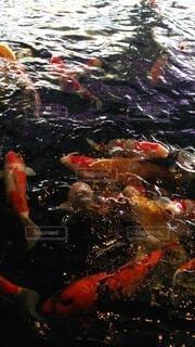 水の中を泳ぐ鯉の写真・画像素材[4201674]