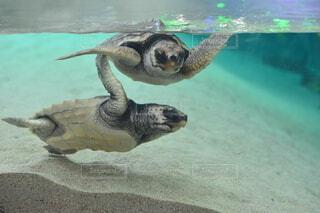 泳ぐ亀の写真・画像素材[4851825]