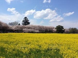 自然,花,春,桜,屋外,ピンク,晴れ,青空,黄色,菜の花