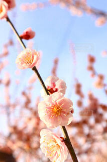 風景,花,春,撮影,梅の花,花粉,ブルーム,ブロッサム