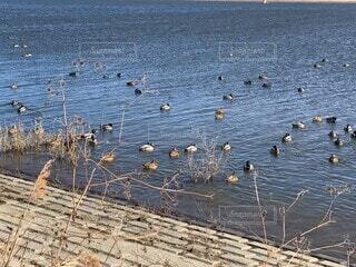 渡良瀬遊水池の水鳥の写真・画像素材[4200437]