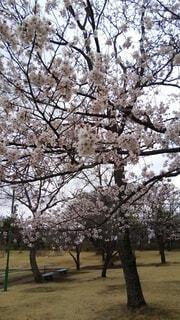 そろそろ満開の桜の写真・画像素材[4269347]