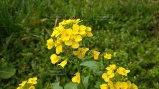 花,屋外,黄色,草,昆虫,草木,フローラ,壁の花