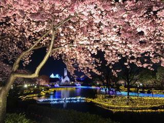 公園,花,春,ピンク,水面,ライト,樹木,イルミネーション,照明,明るい,草木