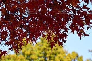 紅葉の木陰の写真・画像素材[4208297]